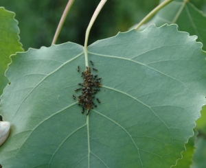 Ants tend to their aphids on the leaf of a newly planted tree at Marine Park.