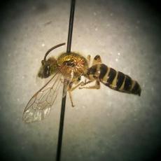 Pinned wasp.