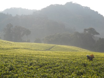 Tea plantation on the edge of Nyungwe National Park