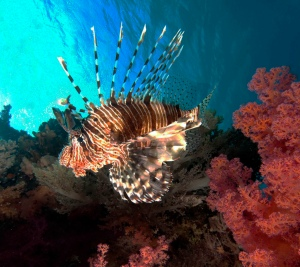 Mature Lionfish © Flickr user Alkok